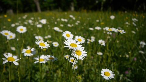 White daisies Footage