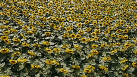 AERIAL: Sunflowers field Footage