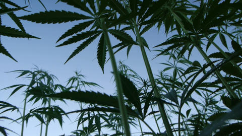 Marijuana silhouette Live Action