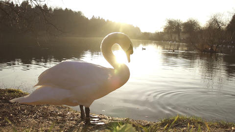 SLOW MOTION: Swan cleaning his feathers Footage