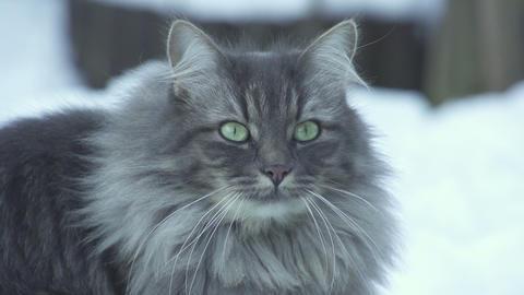 CLOSE UP: Cat looking at camera Footage