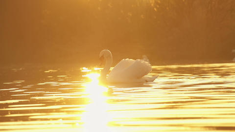 Swan at sunset Footage