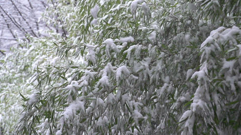 SLOW MOTION: Snow falling off tree branches Live Action