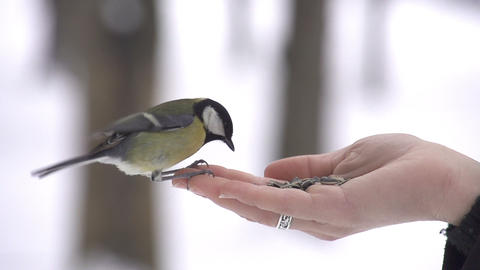 SLOW MOTION: Parus bird lands on hand and takes a  Footage