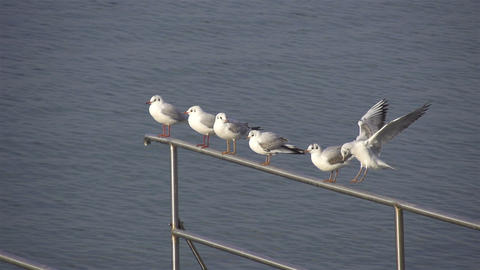 SLOW MOTION: Seagulls Live Action