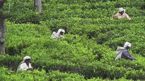 Plantation workers in Sri Lanka Footage