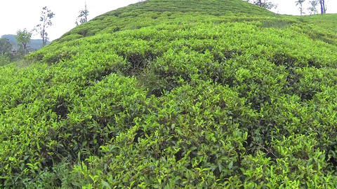 AERIAL: Cheerful woman picking tea leaves in Sri L Footage