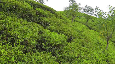 AERIAL: Green tea rows Footage