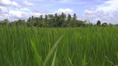 Rice field in Sri Lanka, close up Footage