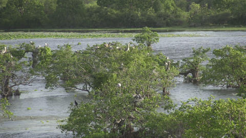 Big white birds on trees by the riverside Footage