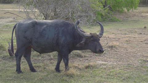 SLOW MOTION: Wild cow in Sri Lanka Footage