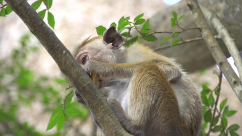 Monkey eating in a tree Footage