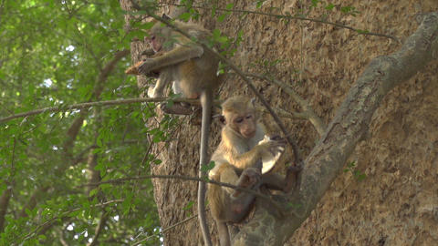 SLOW MOTION: Monkey in a tree catching a fruit Footage