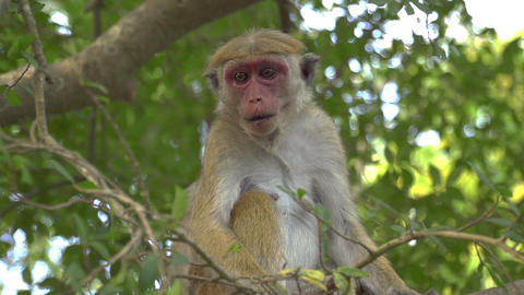 SLOW MOTION: Monkey in a tree catching cocos Footage