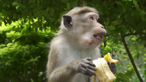 Monkey eating the banana Footage