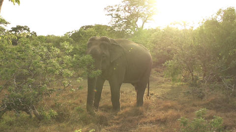 SLOW MOTION: Elephant at sunset Footage