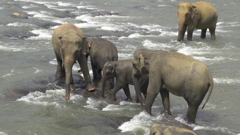 Elephant family in the river Footage