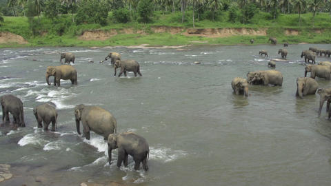 Elephants in a river Footage