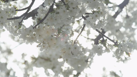 SLOW MOTION: White flowers blooming in spring Footage
