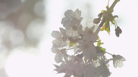 SLOW MOTION: Sun shining through blooming tree Footage