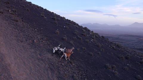 AERIAL: Goats In Fuerteventura Island stock footage