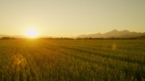 AERIAL: Green wheat field at sunset Footage