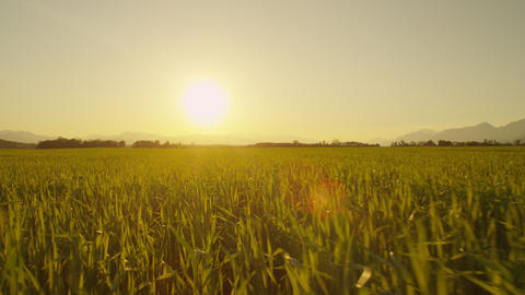 AERIAL: Low flight over wheat field at sunrise Footage