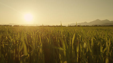 AERIAL: Close up flight over the wheat field at su Footage