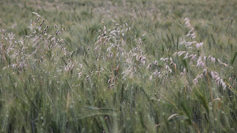 Oat in wheat field Footage