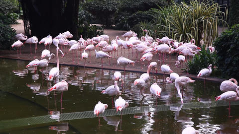 Flamingo pink birds in the park Footage