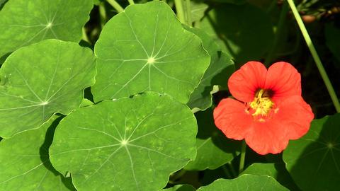Garden Nasturtium, Indian Cress or Monks Cress - T Footage