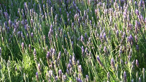 Lavender in the garden Footage