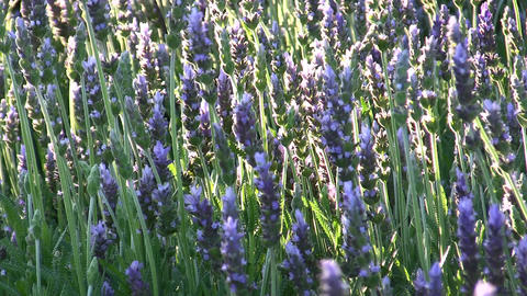 Lavender In The Garden stock footage