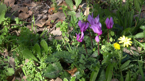 Wild Cyclamen stock footage