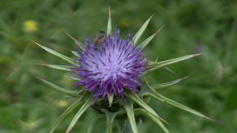 Holy thistle, Silybum marianum flower and bees Footage
