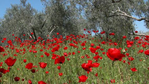Wild Poppy and olive trees in strong wind Footage