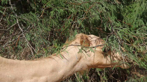 Camel eat from tree in oasis in the desert Footage