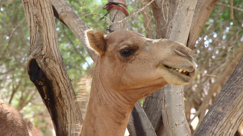 Camels chewing after eating from tree in oasis in  Footage