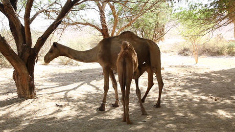 Baby camel milk breast feed in oasis in the desert Footage