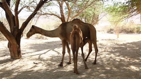 Baby camel milk breast feed in oasis in the desert Footage