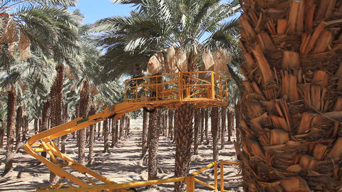 Canopying in the date palm tree Phoenix dactylifer Stock Video Footage