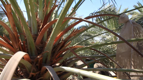 Canopying in the date palm tree Phoenix dactylifer Live Action
