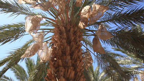 Canopying in the date palm tree Phoenix dactylifer Footage