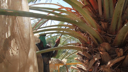 Canopying In The Date Palm Tree Phoenix Dactylifer stock footage