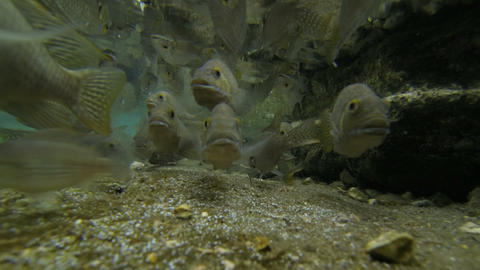 4K UHD Fish feeding frenzy swim eat underwater in  Footage