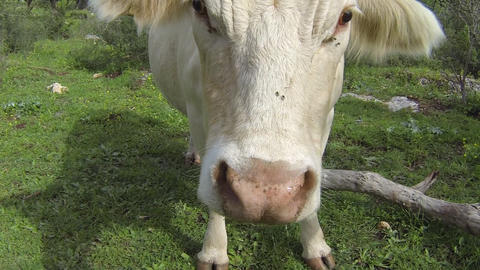 Cow makes funny faces Footage