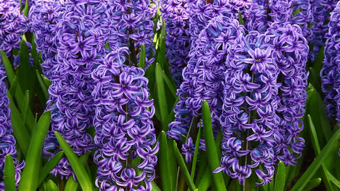 Beautiful hyacinth Footage