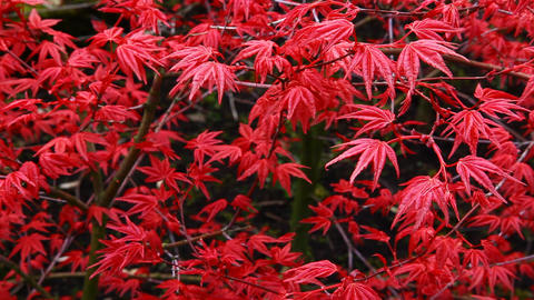 Red Tree Ruben, Acer Palmatum stock footage