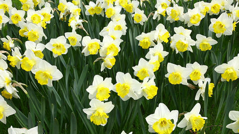 Beautiful daffodils Footage