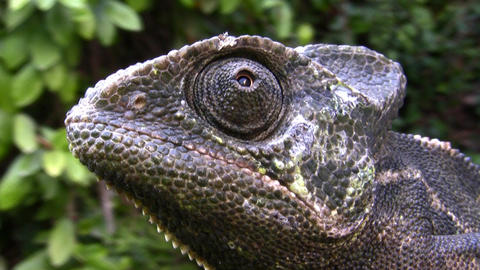 Common Chameleon, Chamaeleo chamaeleon, lizard Footage